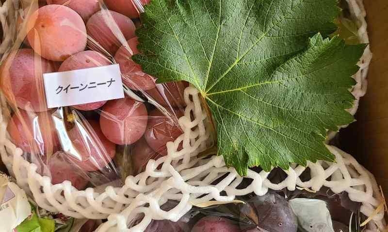 だいじに包まれた3種の葡萄たちが葡萄葉と共に。