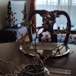 テーブルに設えた桜が開花