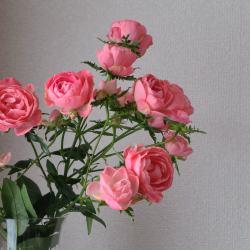 花瓶に入ったピンクの薔薇がたわわに咲いている