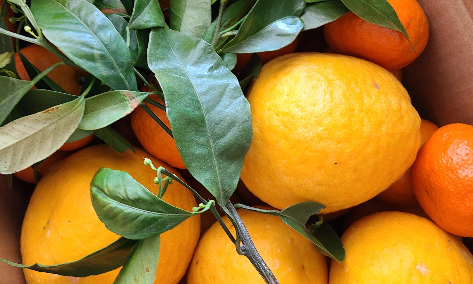 ダンボールに入った沢山のオレンジたち